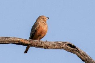 Rufous-tailed Lark - Ammomanes phoenicura