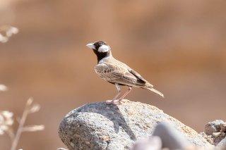 Black-crowned Sparrow-Lark - Eremopterix nigriceps