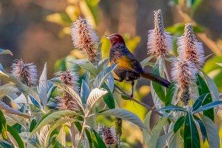 Assam Laughingthrush - Trochalopteron chrysopterum