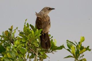 Black-lored Babbler - Turdoides sharpei
