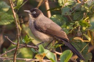 Blackcap Babbler - Turdoides reinwardtii