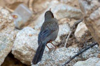 Brown-cheeked Laughingthrush - Trochalopteron henrici