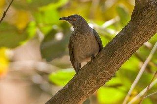 Brown Babbler - Turdoides plebejus