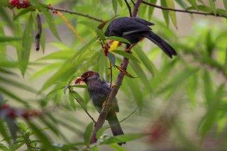 Chestnut-hooded Laughingthrush - Pterorhinus treacheri
