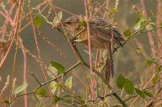 Common Babbler - Argya caudata