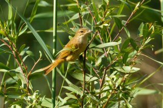 Iraq Babbler - Argya altirostris