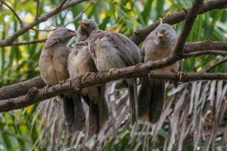 Jungle babbler - Argya striata