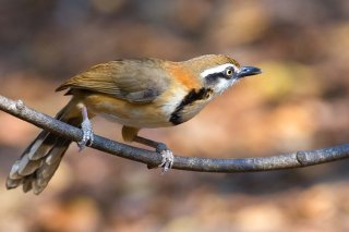 Lesser Necklaced Laughingthrush - Garrulax monileger