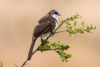 Northern Pied Babbler - Turdoides hypoleuca