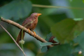 Orange-billed Babbler - Argya rufescens