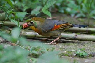 Red-billed Leiothrix - Leiothrix lutea