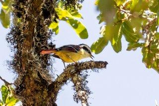 Red-tailed Minla - Minla ignotincta