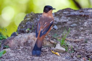 Rufous Sibia - Heterophasia capistrata