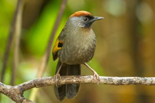Silver-eared Laughingthrush - Trochalopteron melanostigma