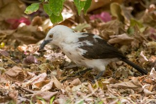 Southern Pied Babbler - Turdoides bicolor