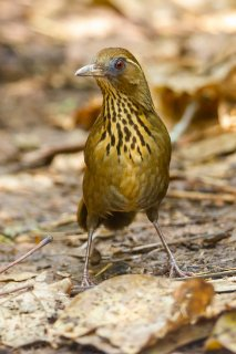 Spot-breasted Laughingthrush - Garrulax merulinus