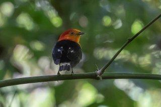 Band-tailed Manakin - Pipra fasciicauda