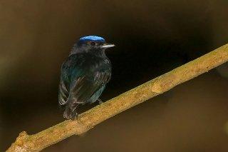 Blue-crowned Manakin - Lepidothrix coronata