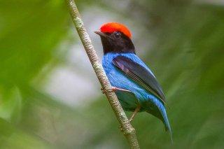Blue Manakin - Chiroxiphia caudata
