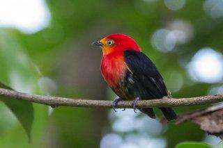 Crimson-hooded Manakin - Pipra aureola