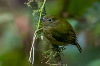 Green Manakin - Cryptopipo holochlora