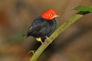 Red-capped Manakin - Ceratopipra mentalis