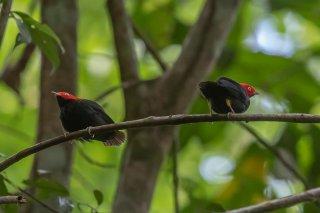 Round-tailed Manakin - Ceratopipra chloromeros