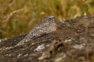 Freckled Nightjar - Caprimulgus tristigma