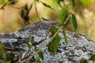 Black-shouldered Nightjar - Caprimulgus nigriscapularis