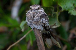 Ladder-tailed Nightjar - Hydropsalis climacocerca