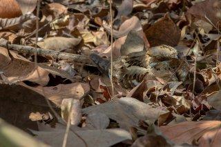Long-tailed Nightjar - Caprimulgus climacurus