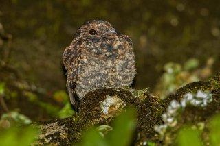 Rufous-bellied Nighthawk - Lurocalis rufiventris