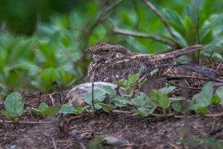 Savanna Nightjar - Caprimulgus affinis