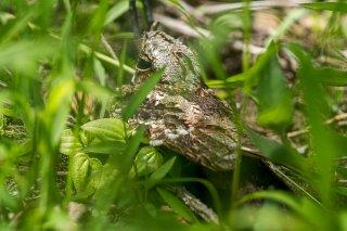 Swamp Nightjar - Caprimulgus natalensis