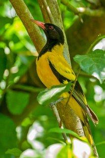 Black-hooded Oriole - Oriolus xanthornus