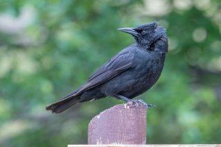 Austral Blackbird - Curaeus curaeus