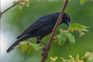 Chopi Blackbird - Gnorimopsar chopi
