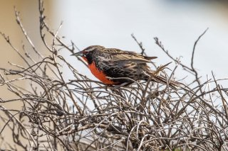 Long-tailed Meadowlark - Leistes loyca