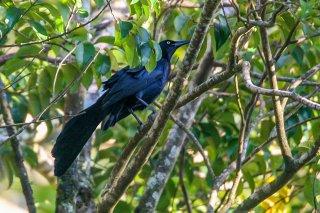 Nicaraguan Grackle - Quiscalus nicaraguensis