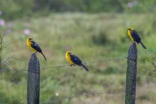 Oriole Blackbird - Gymnomystax mexicanus