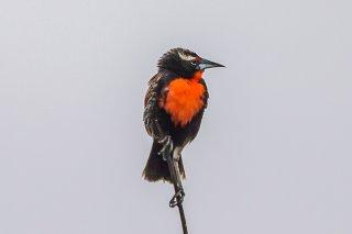 Peruvian Meadowlark - Leistes bellicosus