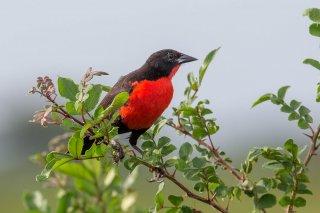 Red-breasted Blackbird - Leistes militaris