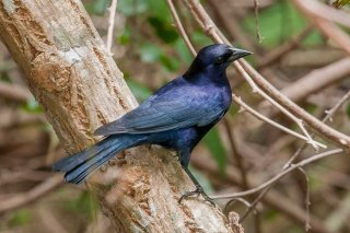 Shiny Cowbird - Molothrus bonariensis