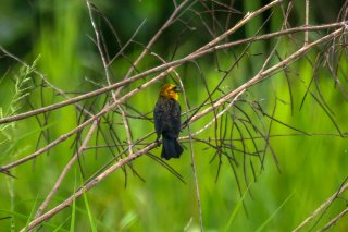 Yellow-hooded Blackbird - Chrysomus icterocephalus