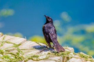 Yellow-winged Blackbird - Agelasticus thilius