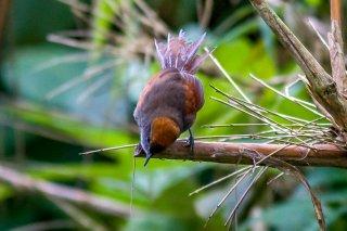 Ash-browed Spinetail - Cranioleuca curtata