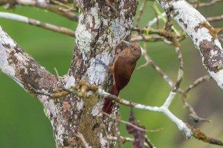 Cinnamon-throated Woodcreeper - Dendrexetastes rufigula