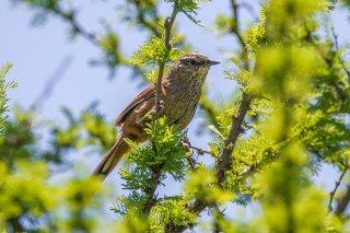 Dusky-tailed Canastero - Pseudasthenes humicola