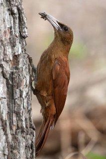 Great Rufous Woodcreeper - Xiphocolaptes major