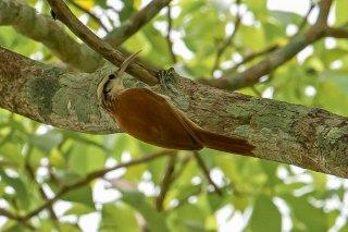 Narrow-billed Woodcreeper - Lepidocolaptes angustirostris